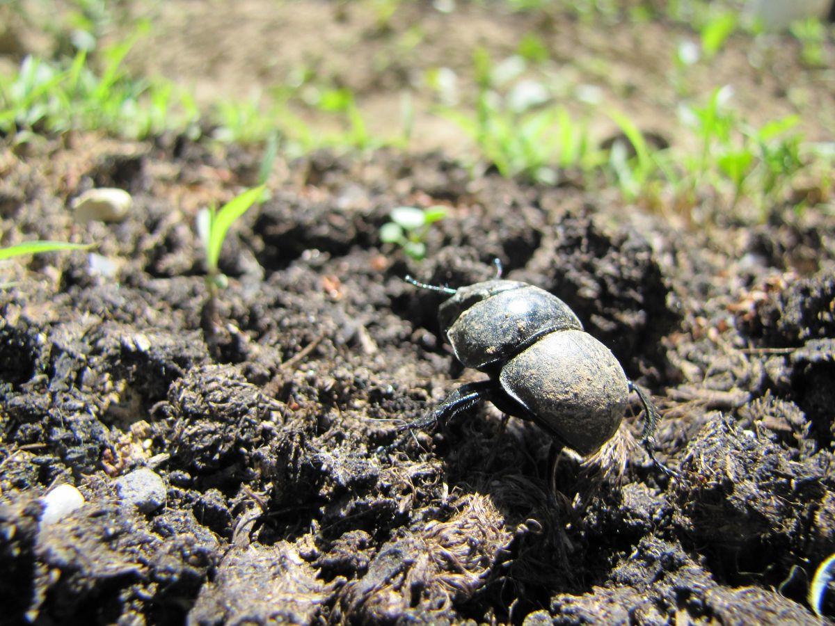 Escarabajos de tierra, Insectos beneficiosos para el jardín