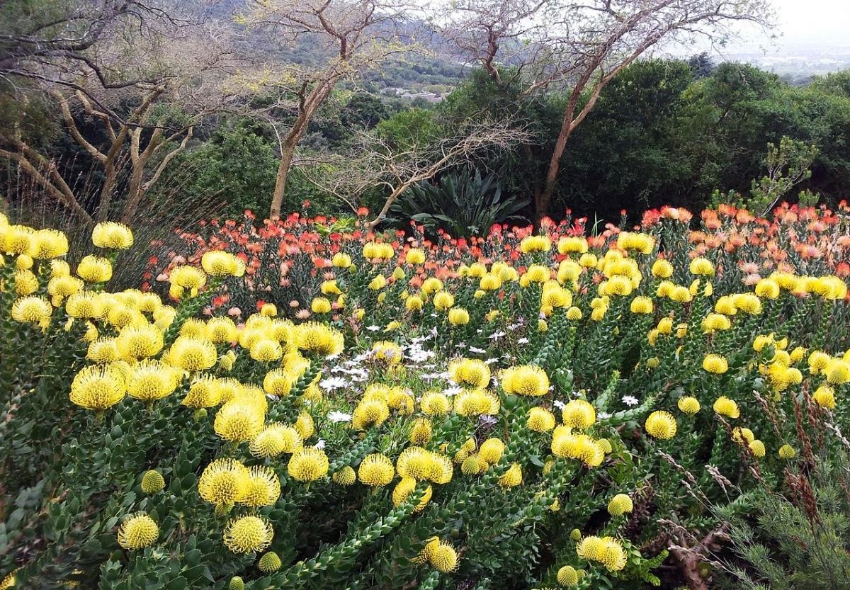 El Leucospermum cordifolium es un arbusto perenne