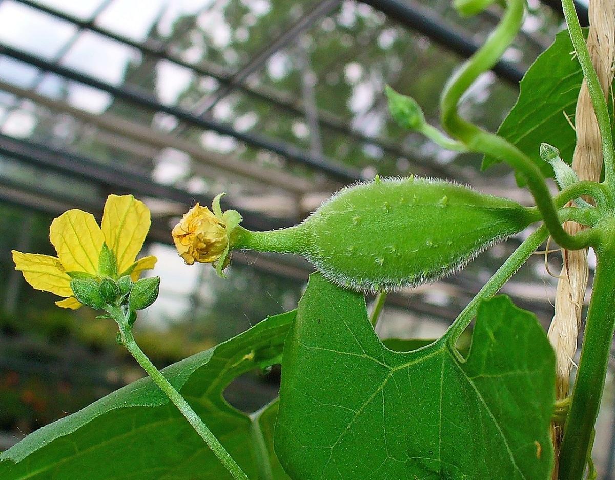La Luffa se cultiva en primavera y verano