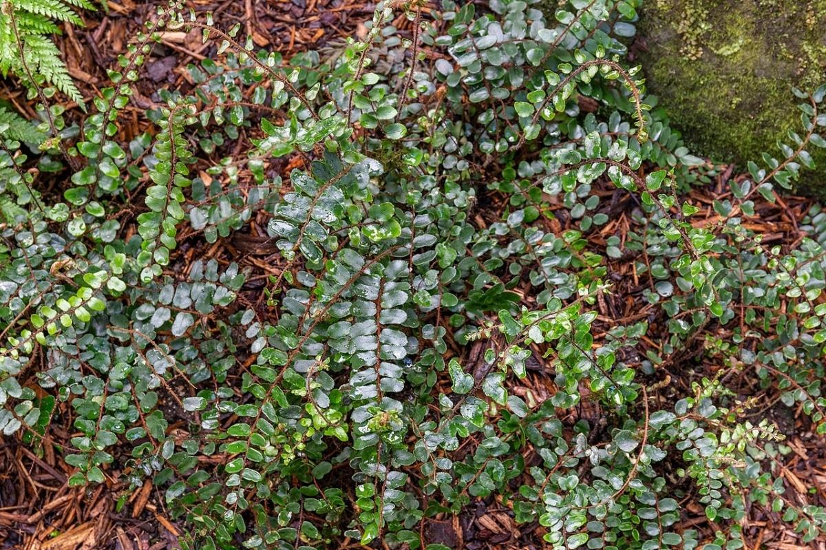 La Pellaea rotundifolia es un helecho resistente