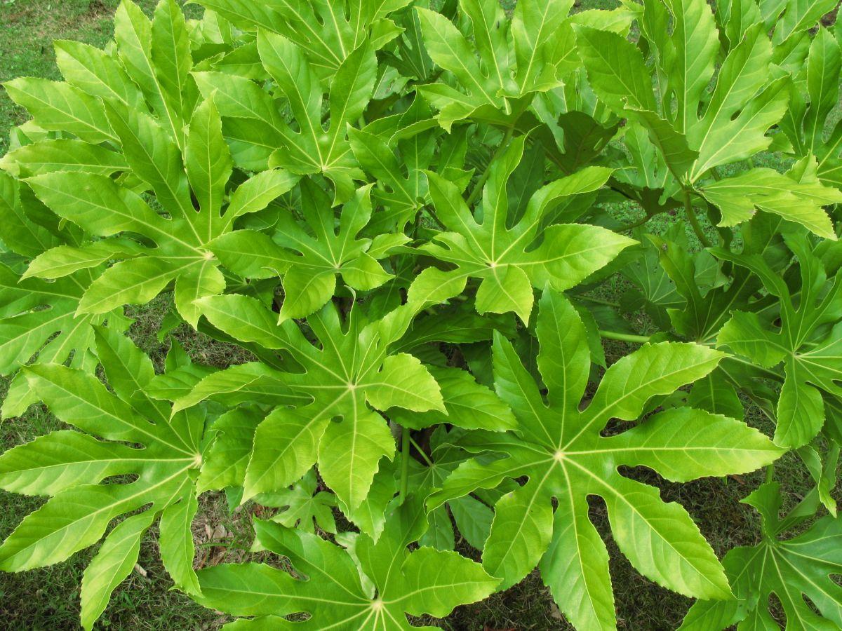 Plantas para la cocina Aralia