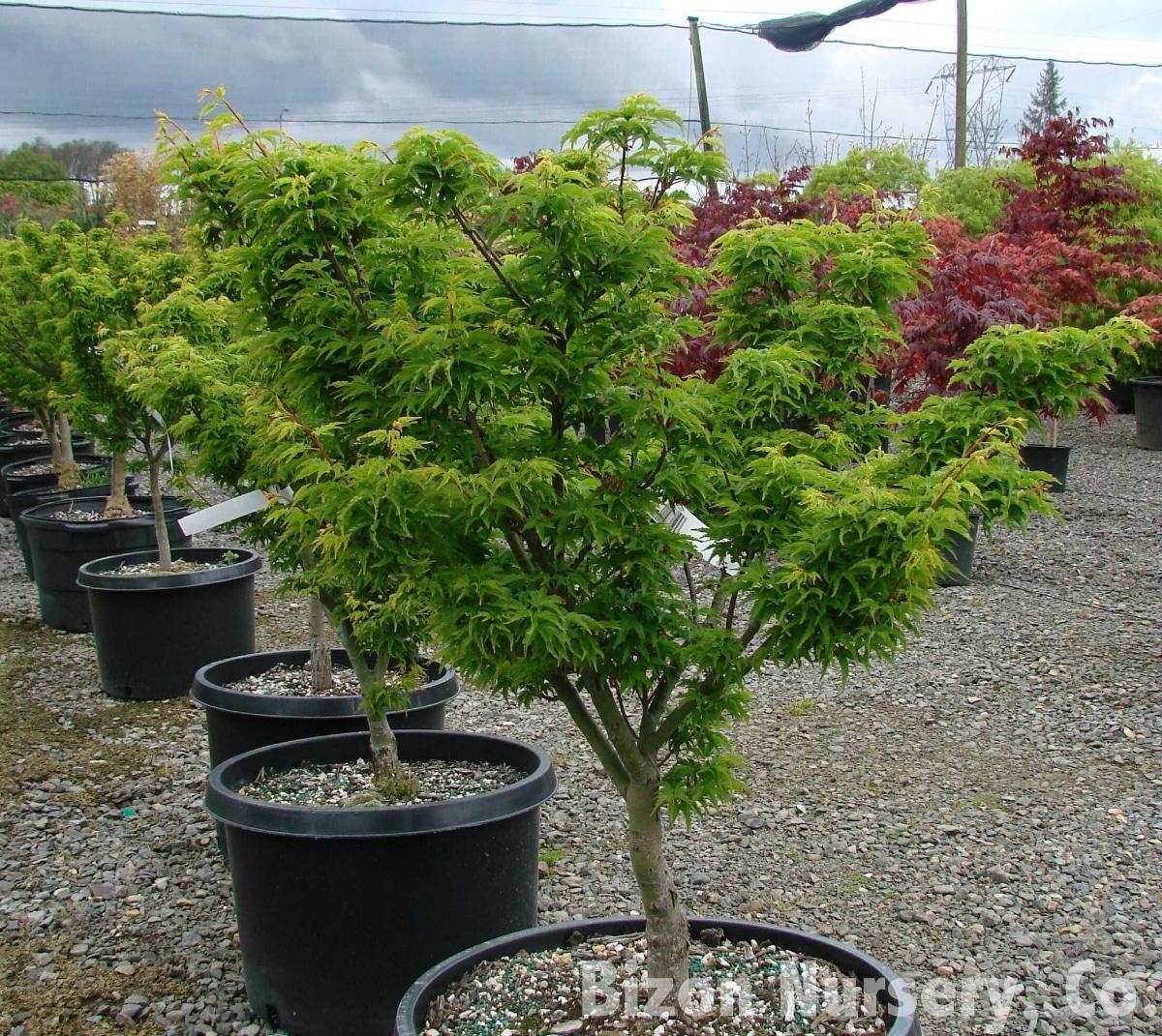 El arce japonés es un arbusto o arbolito caducifolio