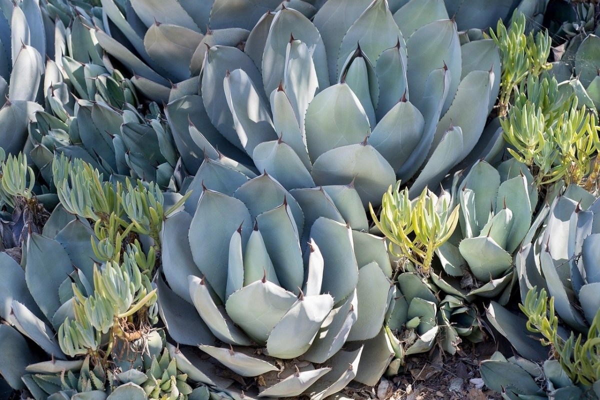 El Agave parryi es una suculenta