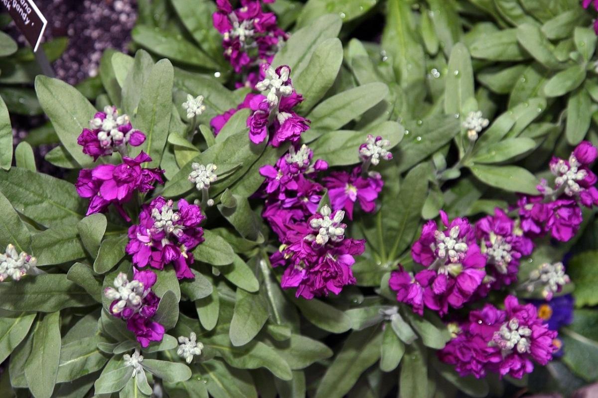 El alhelí es una hierba con flores preciosas