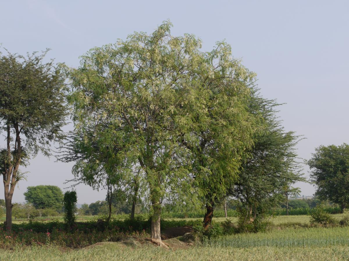 La moringa es un árbol caducifolio