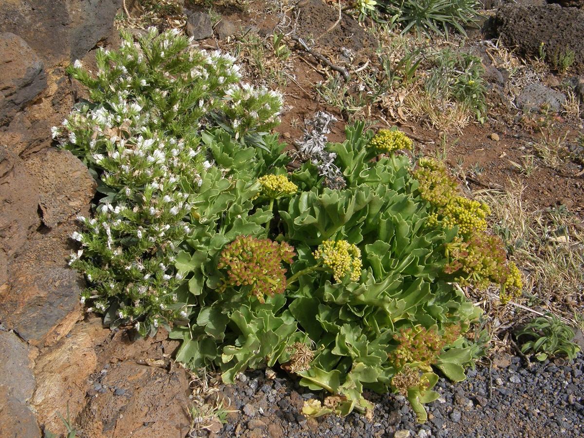 La Astydamia latifolia es un vegetal comestible que crece cerca del mar