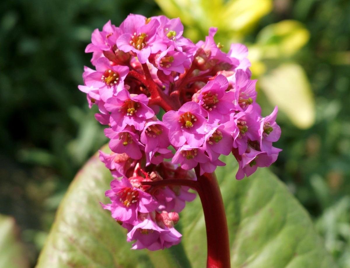 La hortensia de invierno es una planta de flores rosas