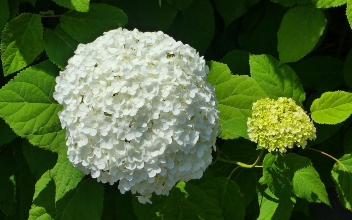 La bola de nieve es un arbusto de flores blancas