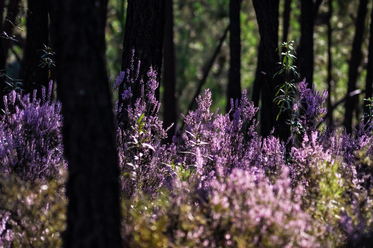 Cuidados del brezo blanco