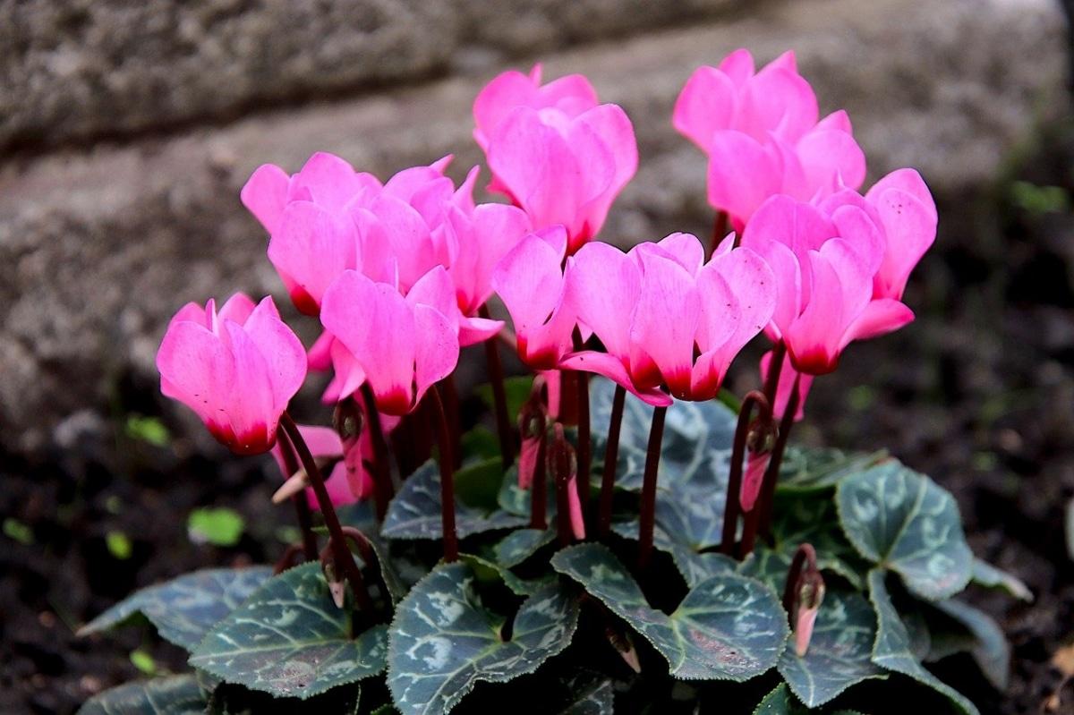 El ciclamen es una planta pequeña