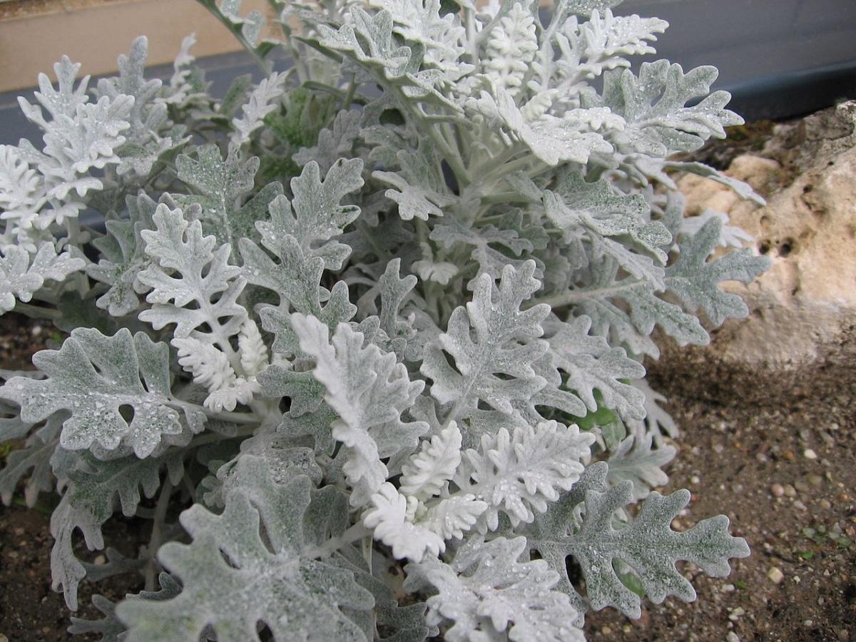 La Cineraria maritima es una planta de color gris