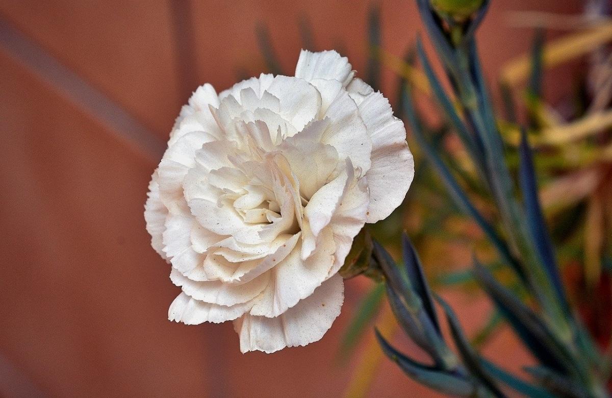 El clavel de flor blanca necesita sol