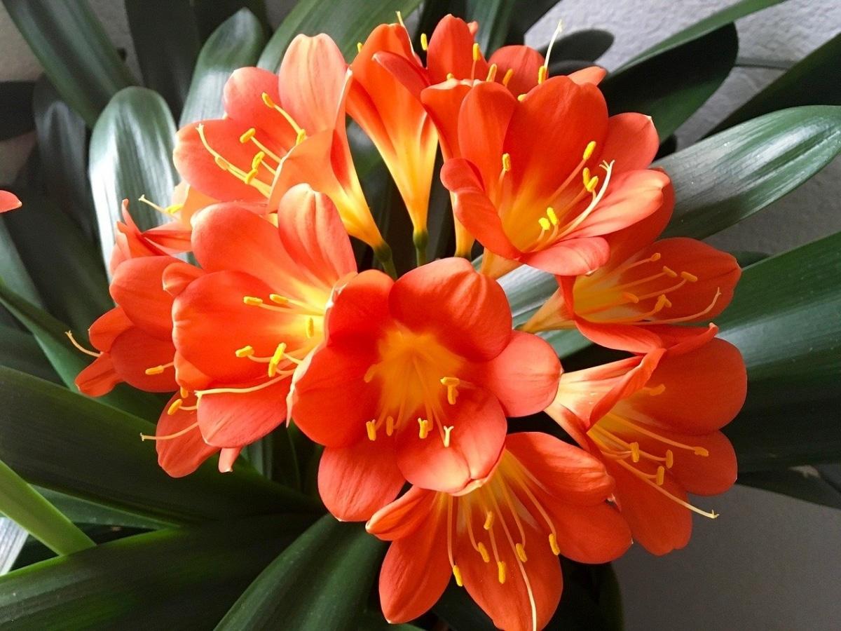 La clivia es una planta que florece en invierno