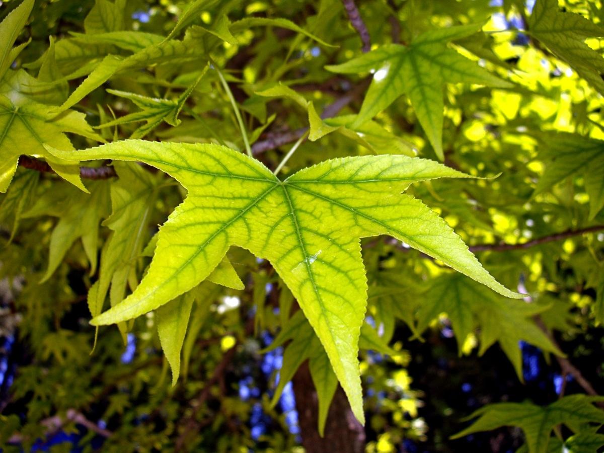 Las hojas se vuelven cloróticas si les faltan nutrientes