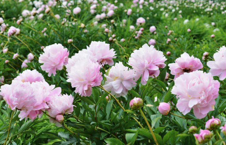 como plantar peonías