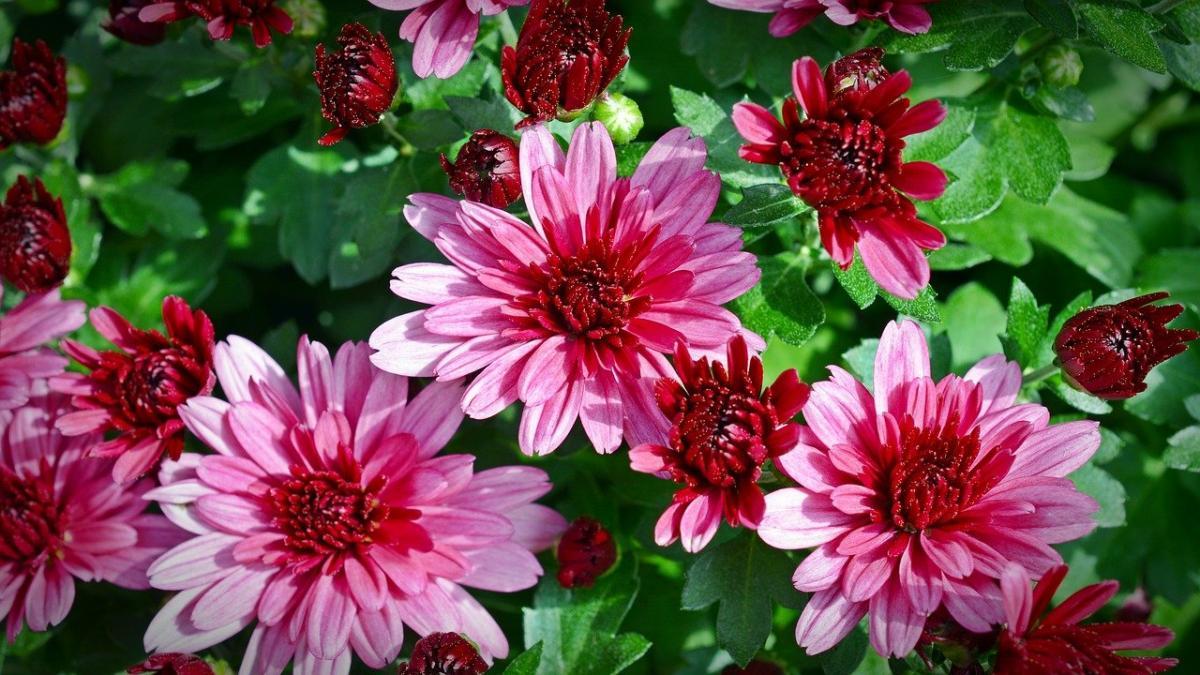 El crisantemo es una hierba con flores