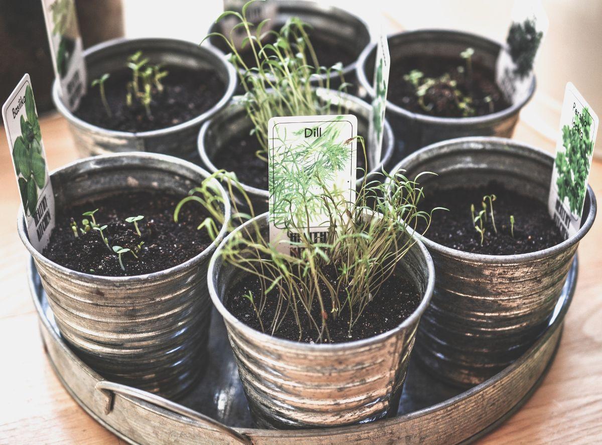 Cuidados de las plantas aromáticas