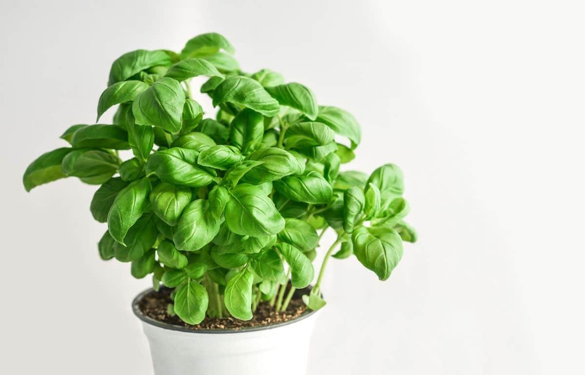 consejos básicos hierbas aromáticas