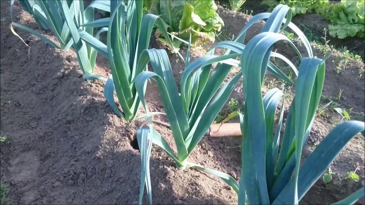 cultivo del puerro