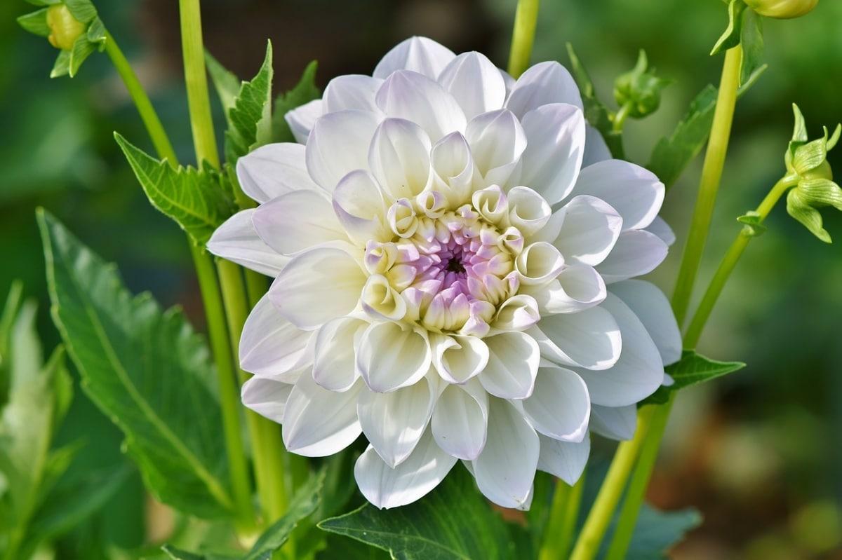 La dalia blanca es una planta que florece en verano