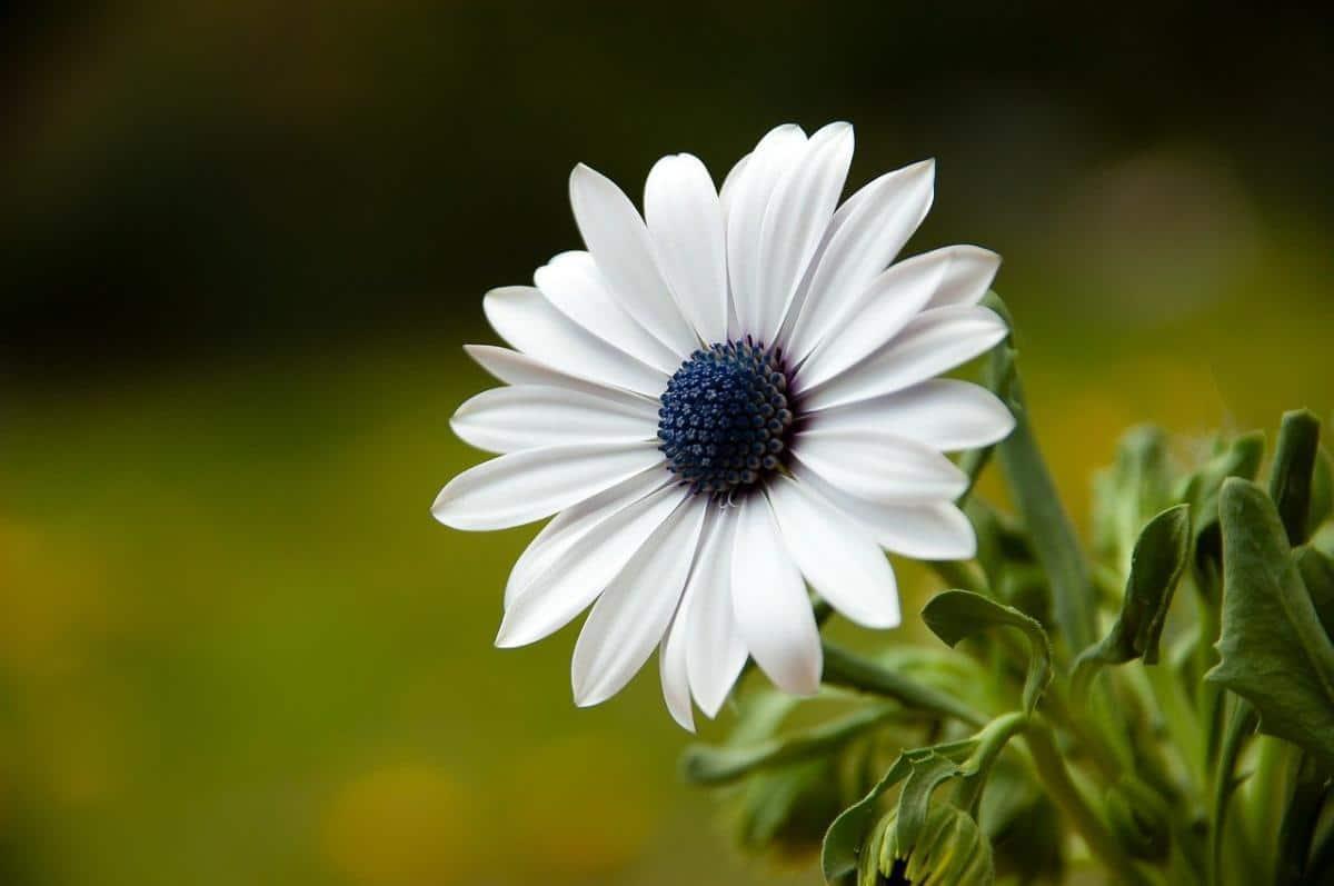 La dimorfoteca es una hierba que florece en primavera y verano