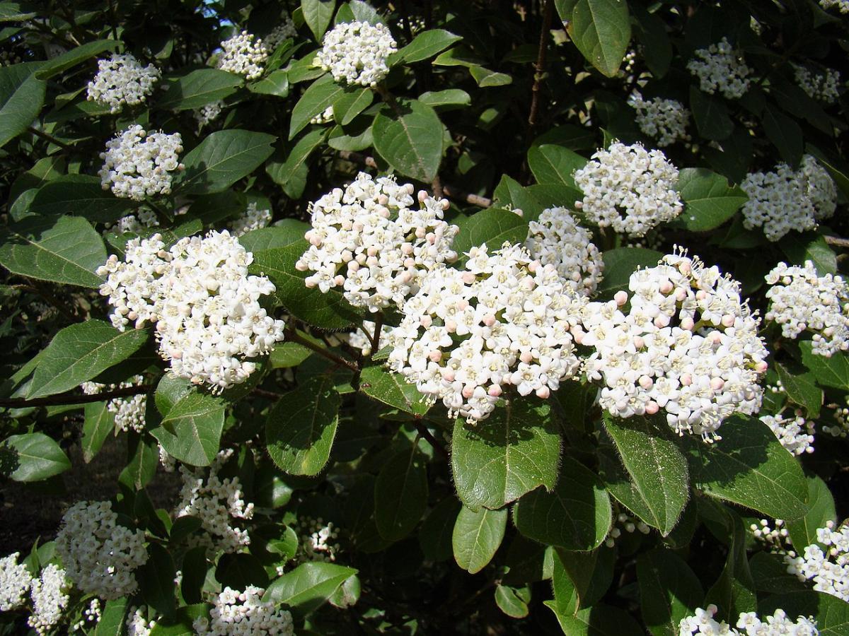 El durillo es un arbusto que se puede cultivar en macetas