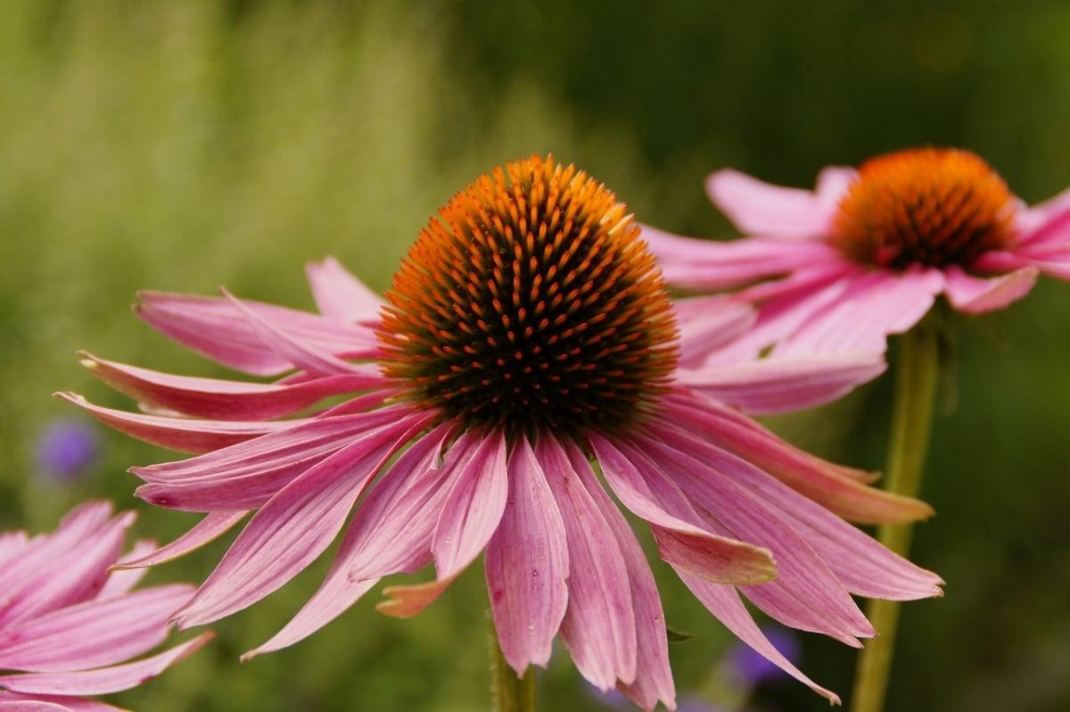 La Echiunacea es una flor perenne