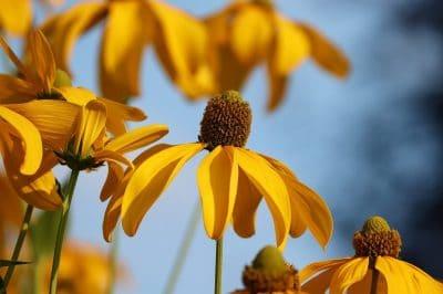 La Echinacea paradoxa tiene las flores amarillas