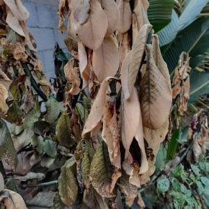 Las hojas secas protegen del frío