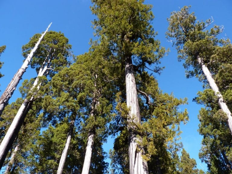 El falso alerce es un árbol enorme