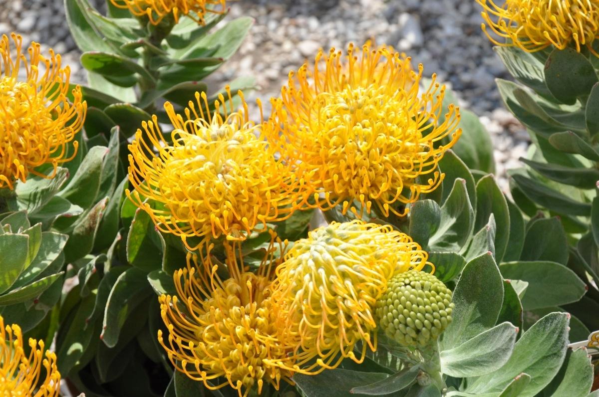 El leucospermum cordifolium puede tener flores amarillas
