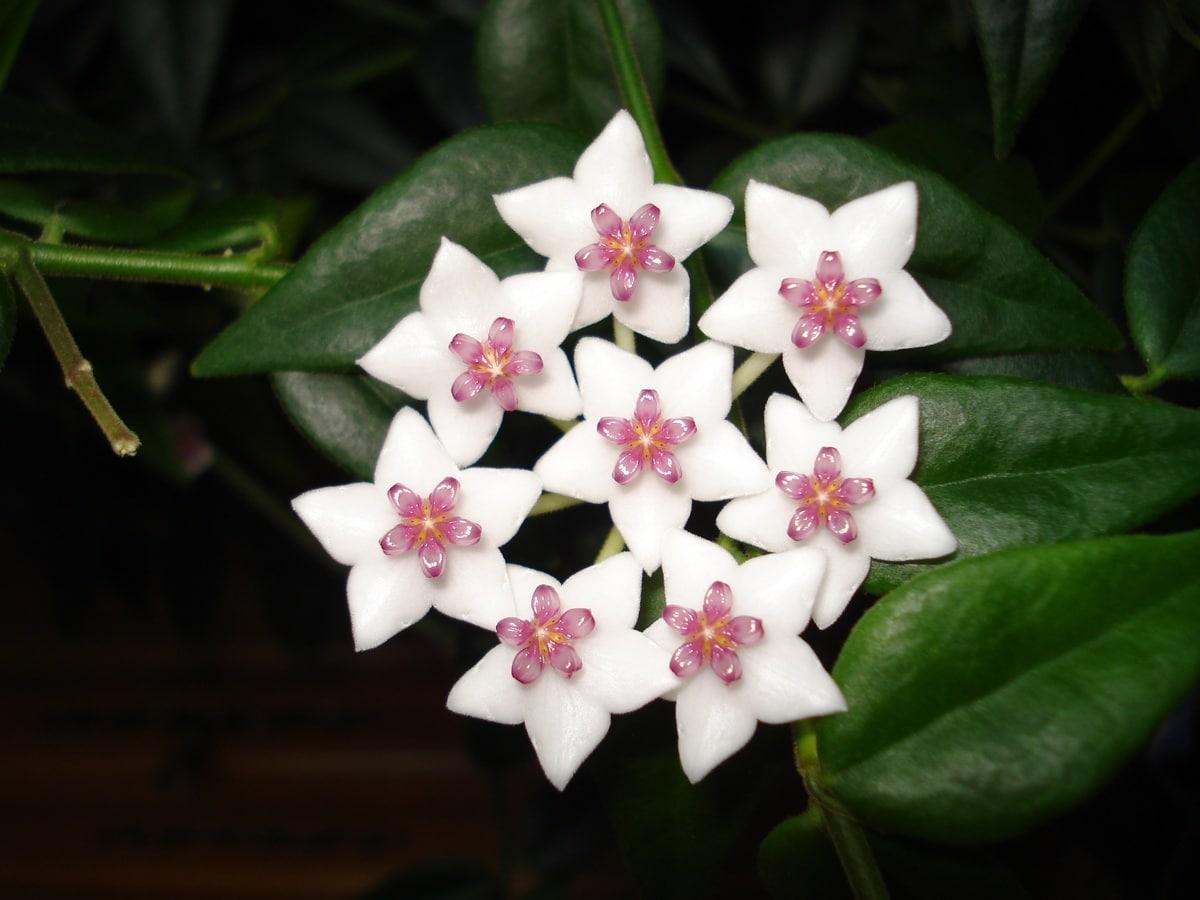 La flor de cera es una trepadora de interior