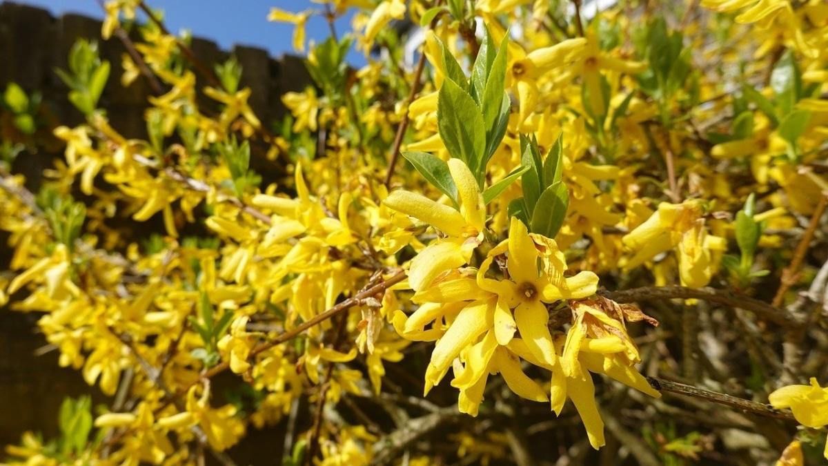 La forsitia es un arbusto que florece bien en macetas grandes