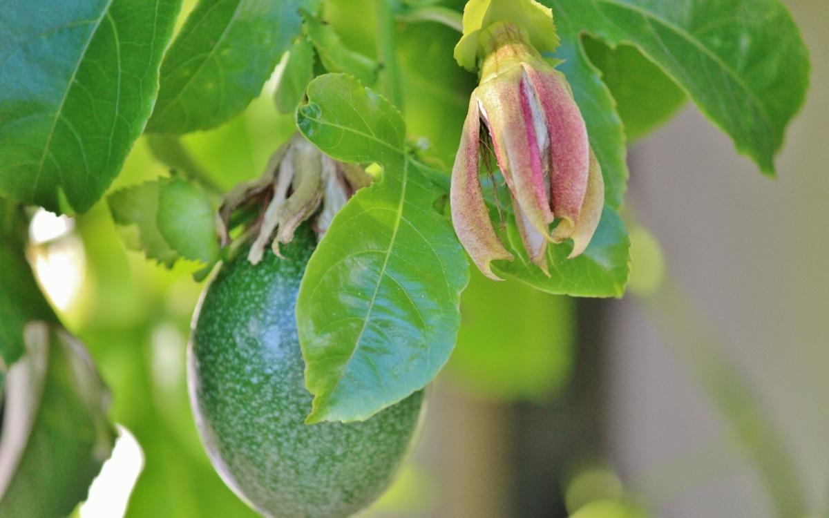 El ácido nítrico es un fertilizante que estimula la maduración de los frutos