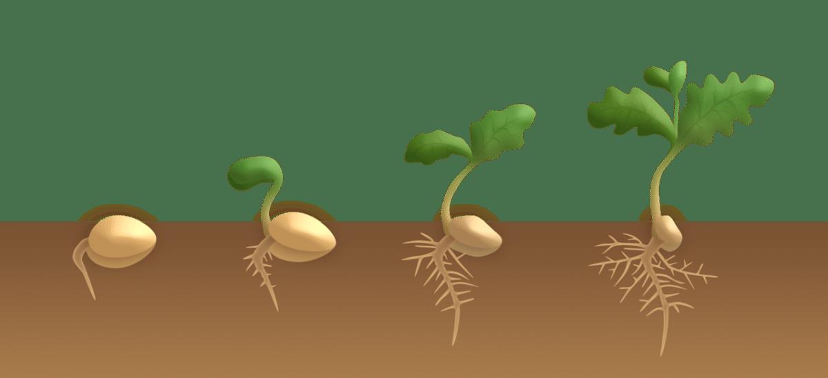 La germinación pasa por 4 etapas