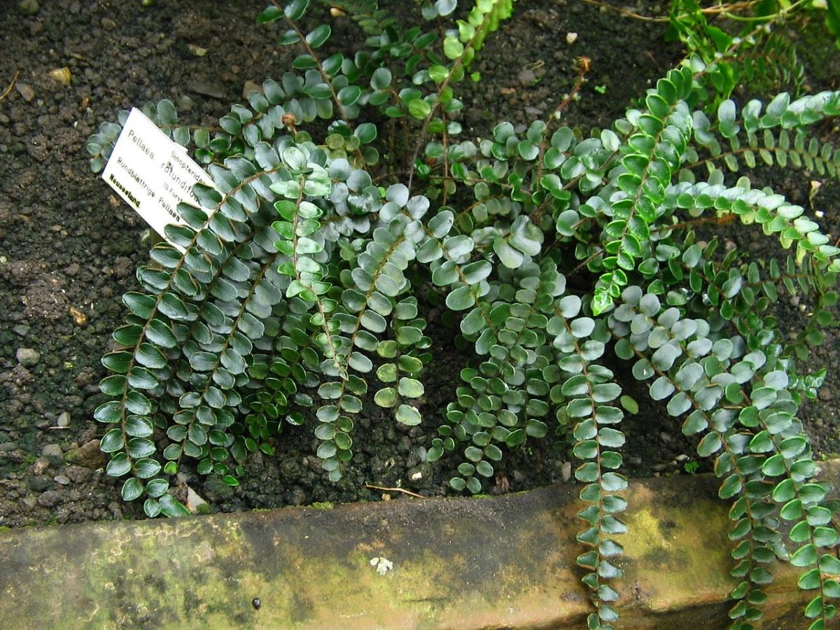 El helecho botón es una planta que se puede cultivar en jardines cálidos
