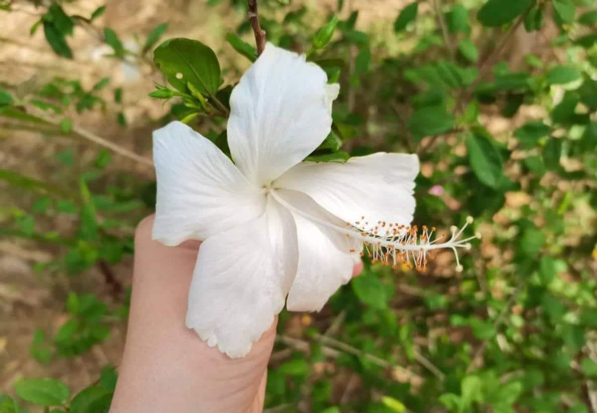 El hibisco es un arbusto pequeño