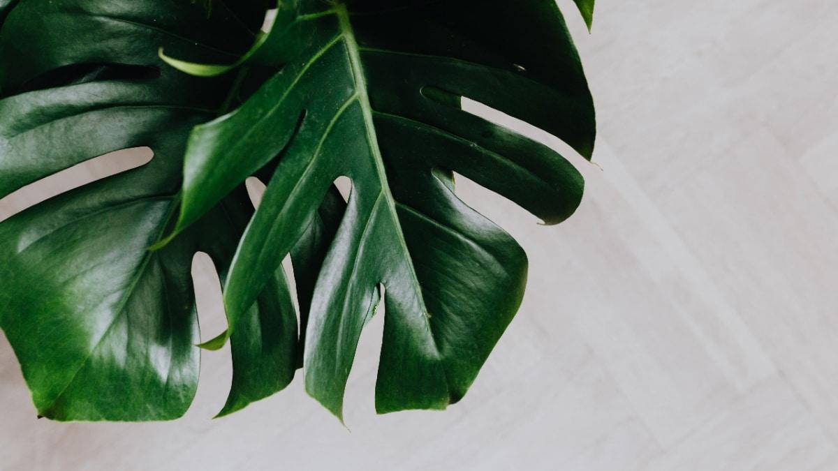 Puedes limpiar las hojas de tus plantas con leche