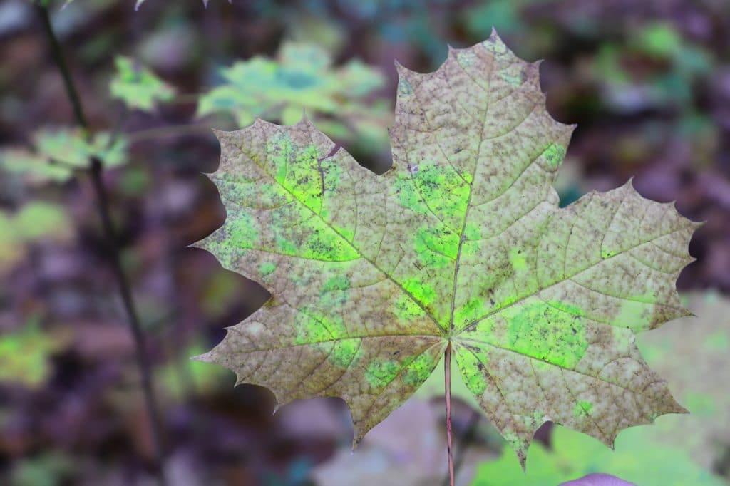 Las hojas se pueden poner negras con la edad
