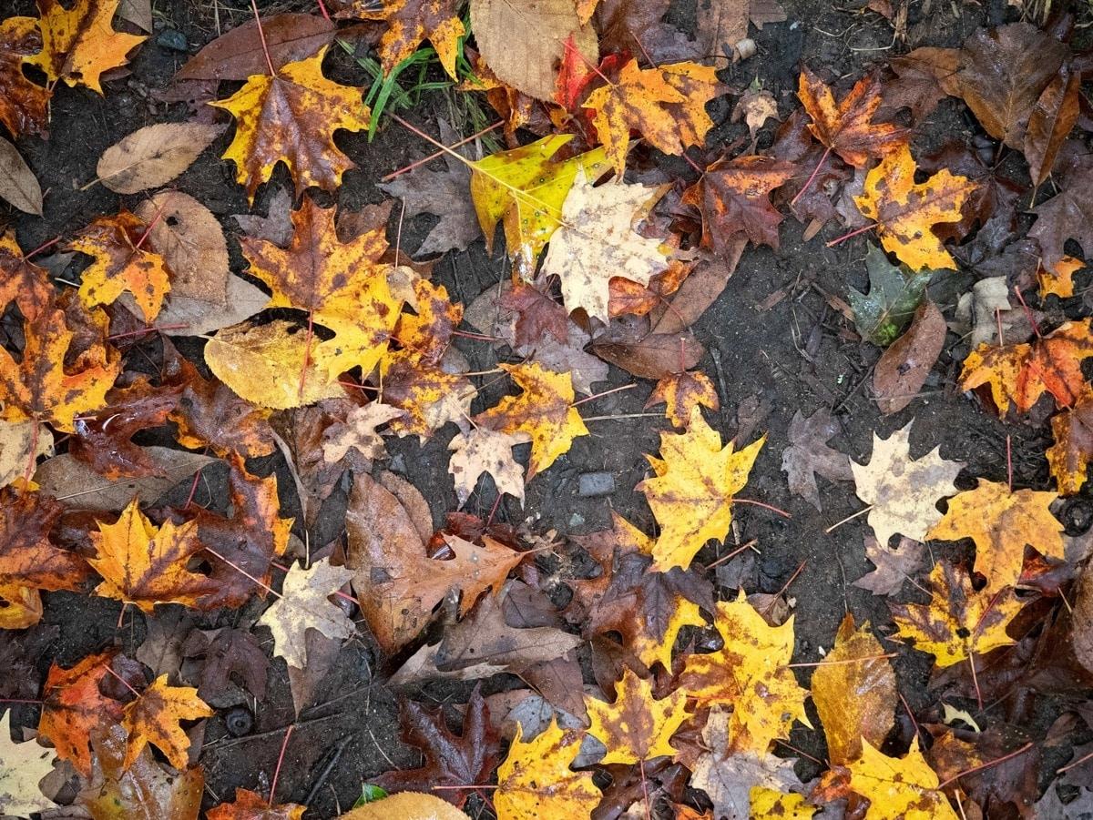 Las hojas se ponen negras en otoño