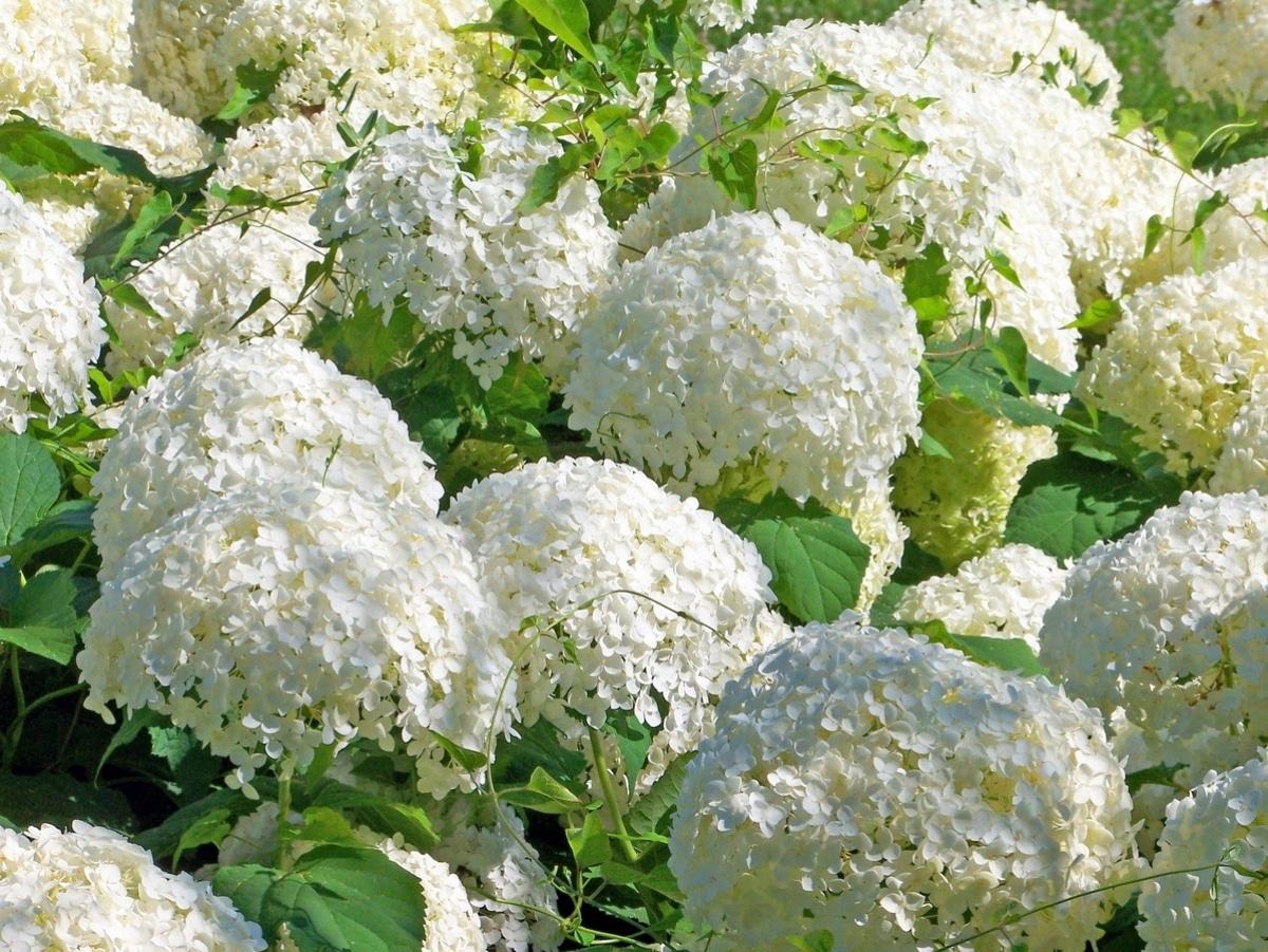 Las hortensias son arbustos medianos