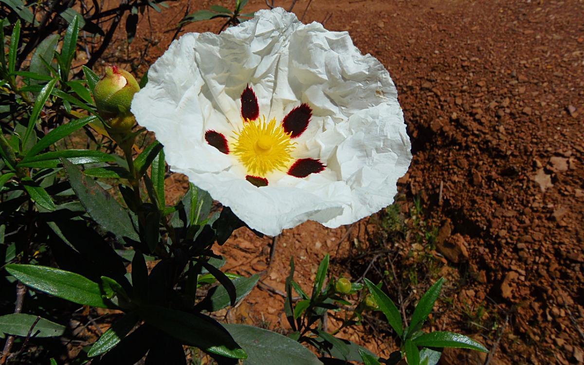 La jara blanca es un arbusto pequeño