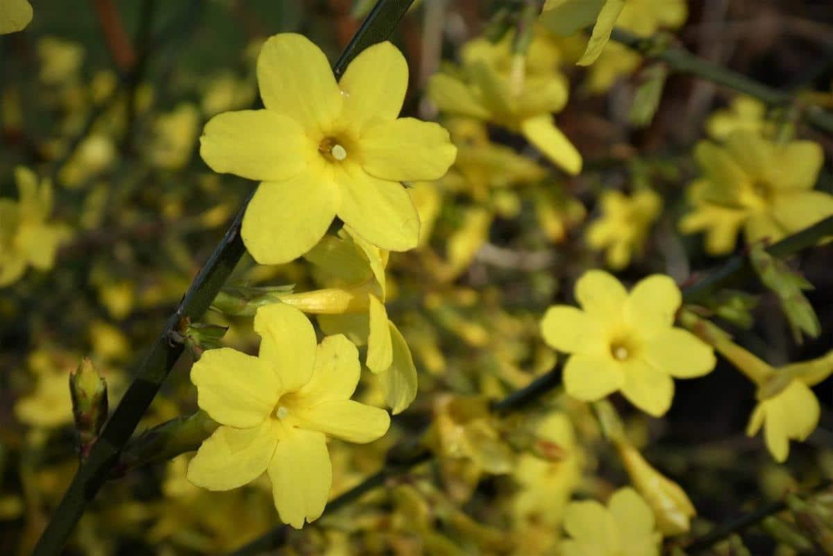 El jazmín amarillo florece en invierno