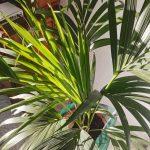 La kentia es una palmera que quiere poca agua