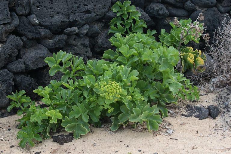 La Astydamia latifolia es originaria del norte de África