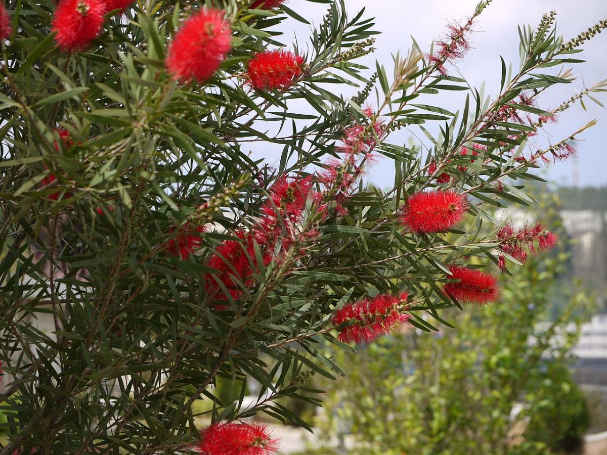 El limpiatubos es un arbusto o arbolito perennifolio ideal para macetas grandes