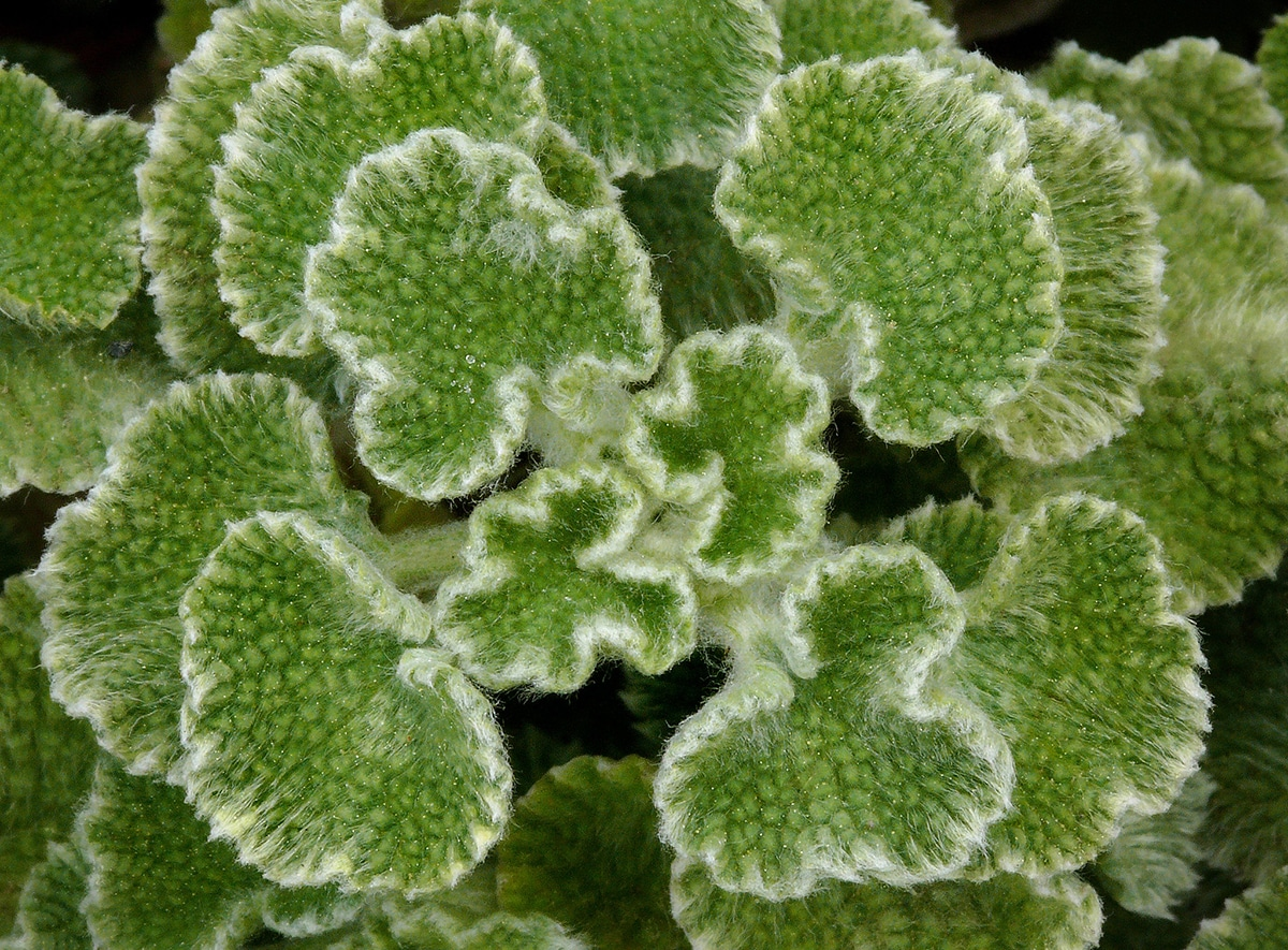 Al Marrubium supinum se le conoce también como manrubio o marrubio