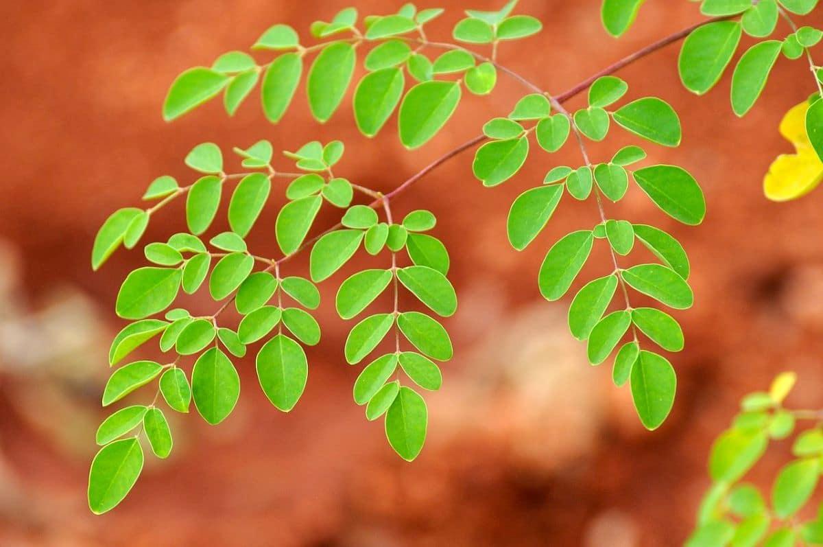 La Moringa oleifera tiene las hojas compuestas