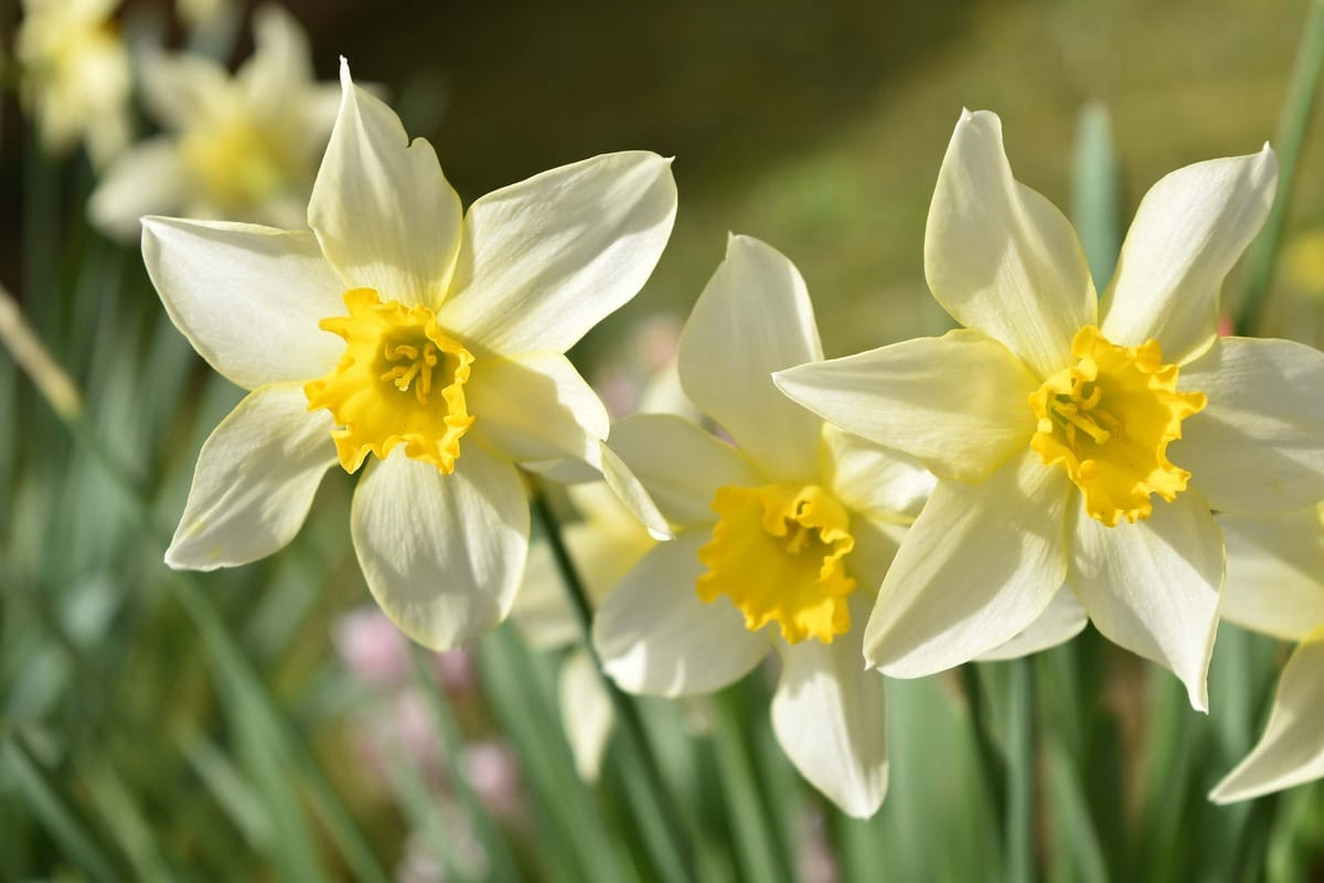 Los narcisos son bulbosas que producen flores