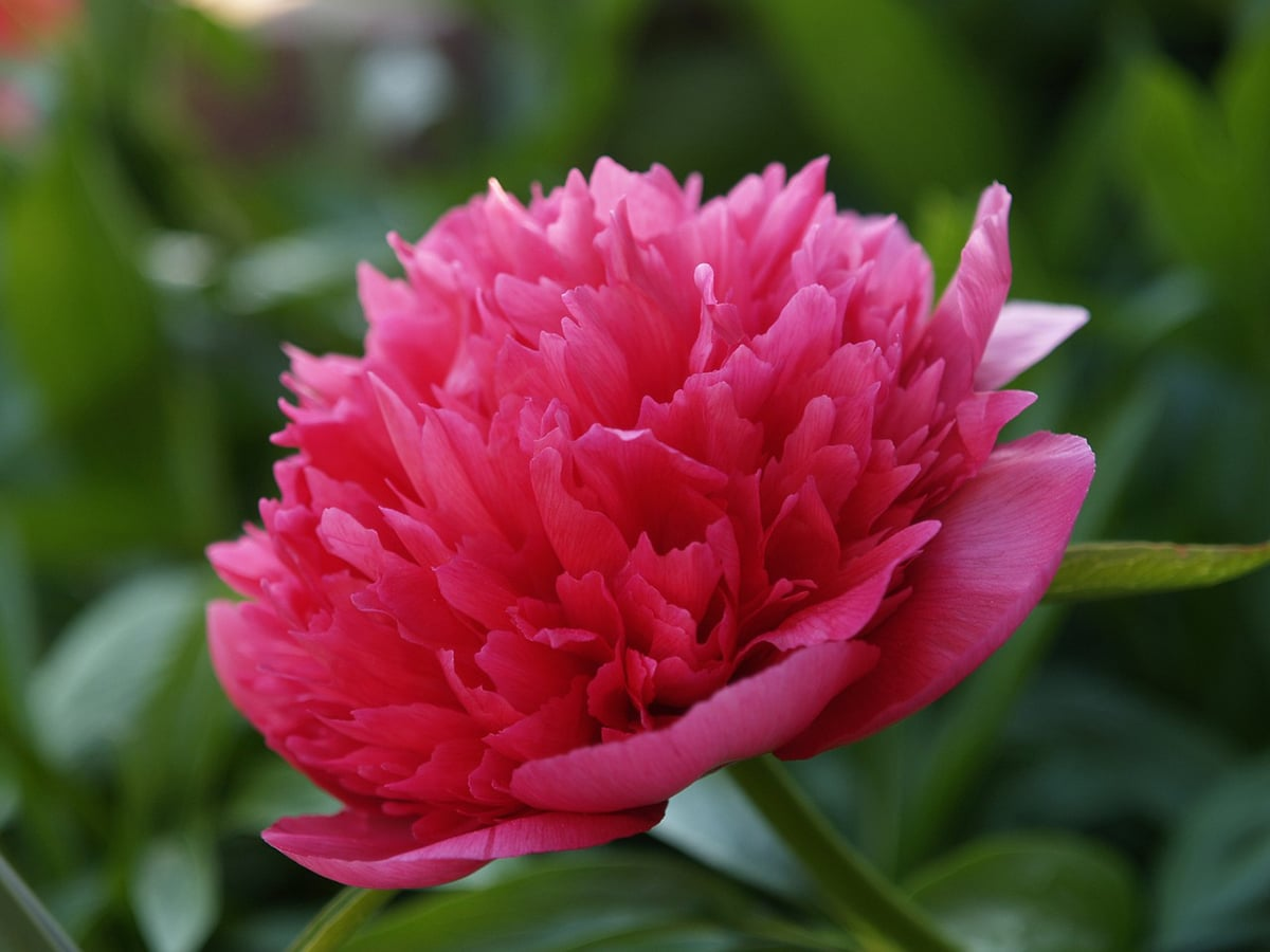 La Paeonia officinalis es la flor nacional de China